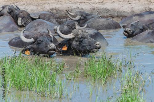 Fotobehang Buffel Büffel lieben Schlammbäder