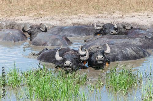 Staande foto Buffel Büffel lieben Schlammbäder