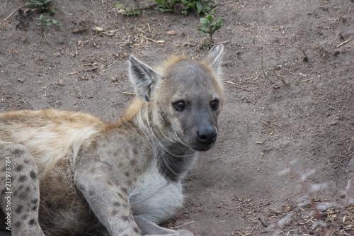 Foto op Plexiglas Hyena Hyena in the Kruger Park in South Africa