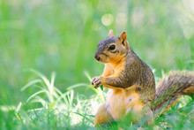 Cute Female Squirrel Sitting In Green Grass At The Park, Showing Face For Portrait