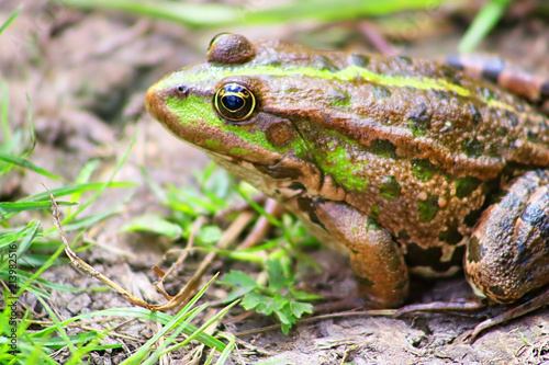 The marsh frog (Pelophylax ridibundus belongs to the family of true frogs) in th Canvas Print