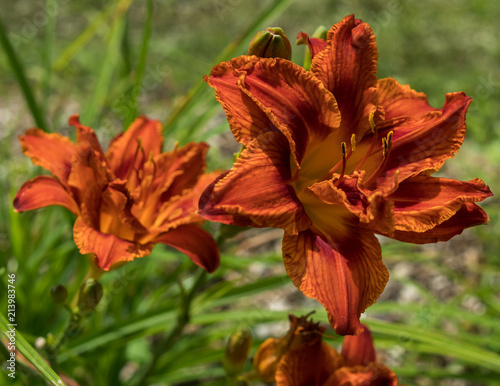 Orange daylily with yellow center, close-up