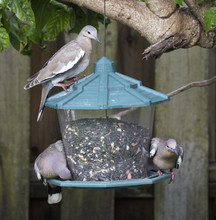 Three White-winged Doves With ...