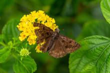 Horace's Duskywing Butterfly (Erynnis Horatius), Male, On Pineland Lantana Flower - Davie, Florida, USA