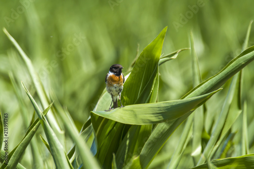 Spoed Foto op Canvas Natuur stonechat male on corn plant in nature reserve