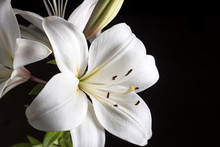 White Lily On A Black Background.