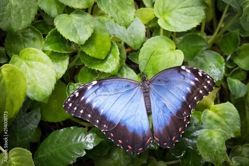 Fotografie, Obraz  Closeup of the common/blue morpho (morpho peleides) perched on a green vegetatio