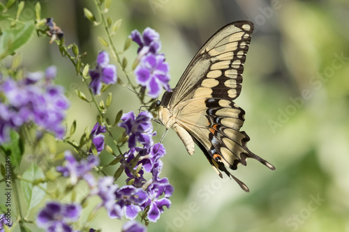Fotografie, Obraz  Photograph of a yellow Swallowtail Butterfly feeding from purple flowers