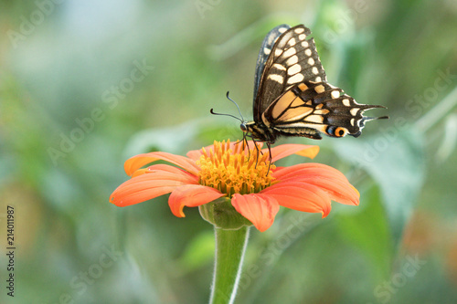 Photograph of a yellow Swallowtail butterfly feeding from a Mexican Sunflower  in the garden