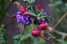 Fuchsia Flowers Up Close