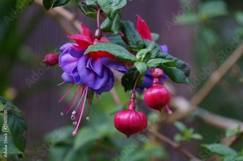 Canvas-taulu Fuchsia flowers up close