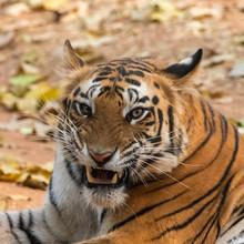 Tiger  Snarling Ears Back - Cl...