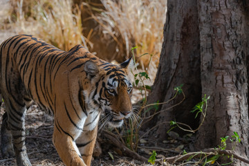 Tiger walking through jungle - forequarter view