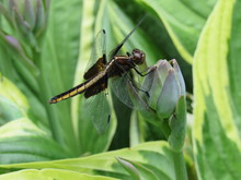 A Female Widow Skimmer Dragonfly (Libellula Luctuosa) Perched On A Plant