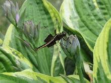 A Female Widow Skimmer Dragonf...
