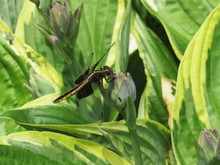 A Female Widow Skimmer Dragonf...