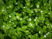 A Group Of Common Chickweed With Small White Blossoms
