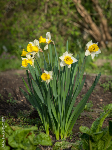 Papiers peints Narcisse A group of daffodils on a sunny day in spring