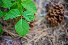 Poison Ivy Forest Floor