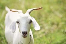 Southern Kiko Goat, Portrait O...