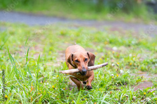 dachshund dog run and jump Canvas Print