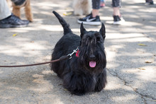 Black Cute Scottish Terrier, With Red Bow Tie, On The Asphalt Road In The Park