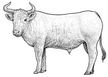 Bull Illustration, Drawing, En...