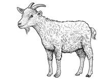 Goat Illustration, Drawing, En...