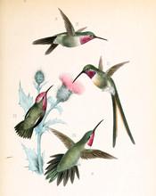 Illustration Of A Hummingbird.