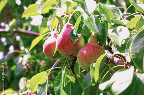 Fresh mature pears on a branch - Photo of mature pear fruit on a tree, fruit background.