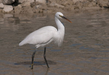 Western Reef Heron Red Sea Egypt