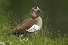 Egyptian Goose (Alopochen Aegyptiacus), Oesinghausen, Bergisches Land, North Rhine-Westphalia, Germany, Europe