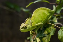 Close Up Of Veiled Chameleon O...