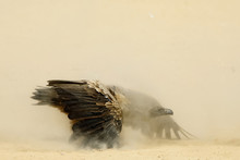 White-backed Vulture (Gyps Afr...