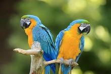 Blue And Yellow Macaws (Ara Ararauna), Pair, Native To South America, Captive, Wachenheim, Germany, Europe