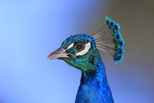Close Up Of Indian Peafowl