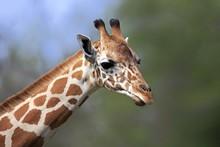 Reticulated Giraffe (Giraffa Camelopardalis Reticulata), Adult, Portrait, Captive, Miami, Florida, USA, North America
