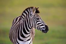 Burchell's Zebra (Equus Quagga...