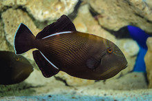 Black Triggerfish Swimming In ...