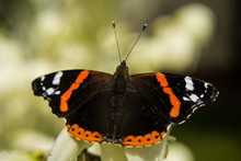 Red Admiral Butterfly On Close-up