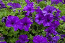 Petunia Flowers.
