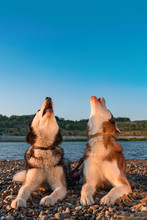 Two Husky Dogs Howl Raising Th...