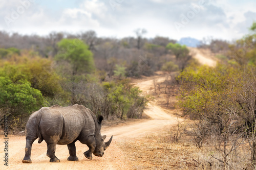 Fototapeta premium Nosorożec na drodze