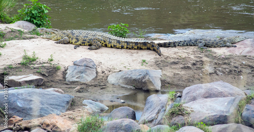 A pair of crocodiles resting in the river on a rock bank in northern tanzania Canvas Print