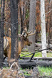 deer in Yellowstone National Park in Wyoming