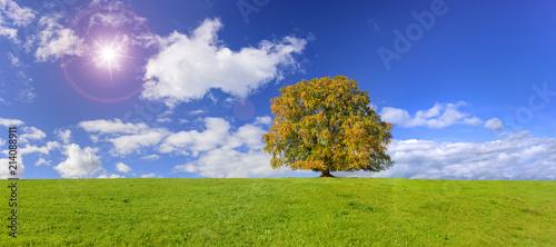 Große alte Buche als Einzelbaum im Herbst in Bayern
