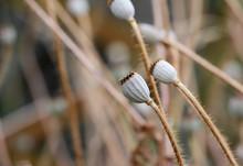 Dry Poppy Seed Heads Macro