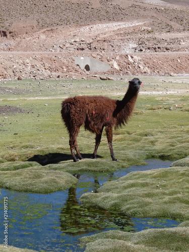 Staande foto Lama Lama/Llama at the marshlands of the Bolivian altiplano near the Uyuni Salt Flat (Salar de Uyuni), Bolivia, South America