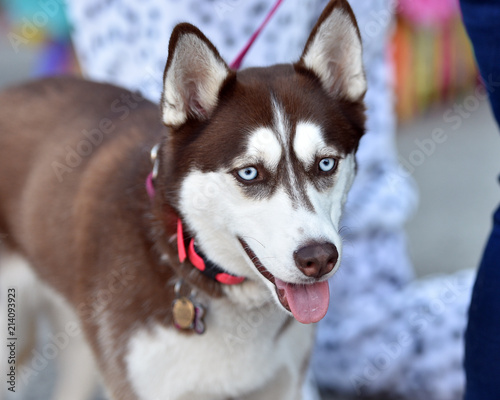 Brown and White Husky Puppy out for a Walk - Buy this stock