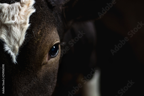 eye of a brown calf close-up. Beautiful animal eyes on the farm
